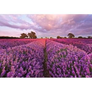 Фотообои Komar Lavendel 184 х 127см. (1-615)