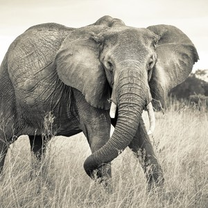 Фотообои National Geographic Elephant (3,68х2,48 м) цены
