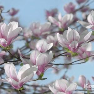 Фотообои Komar Magnolia (3,68х2,54 м) (8-738) недорого