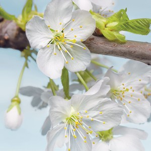 Фотообои Komar Blossom (1,84х2,48 м) (XXL2-033)
