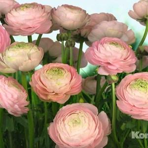 Фотообои Komar Gentle Rose (3,68х2,54 м) (8-894) стоимость